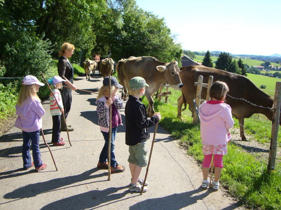 Jeden tag kommen unsere Kühe auf die Weide