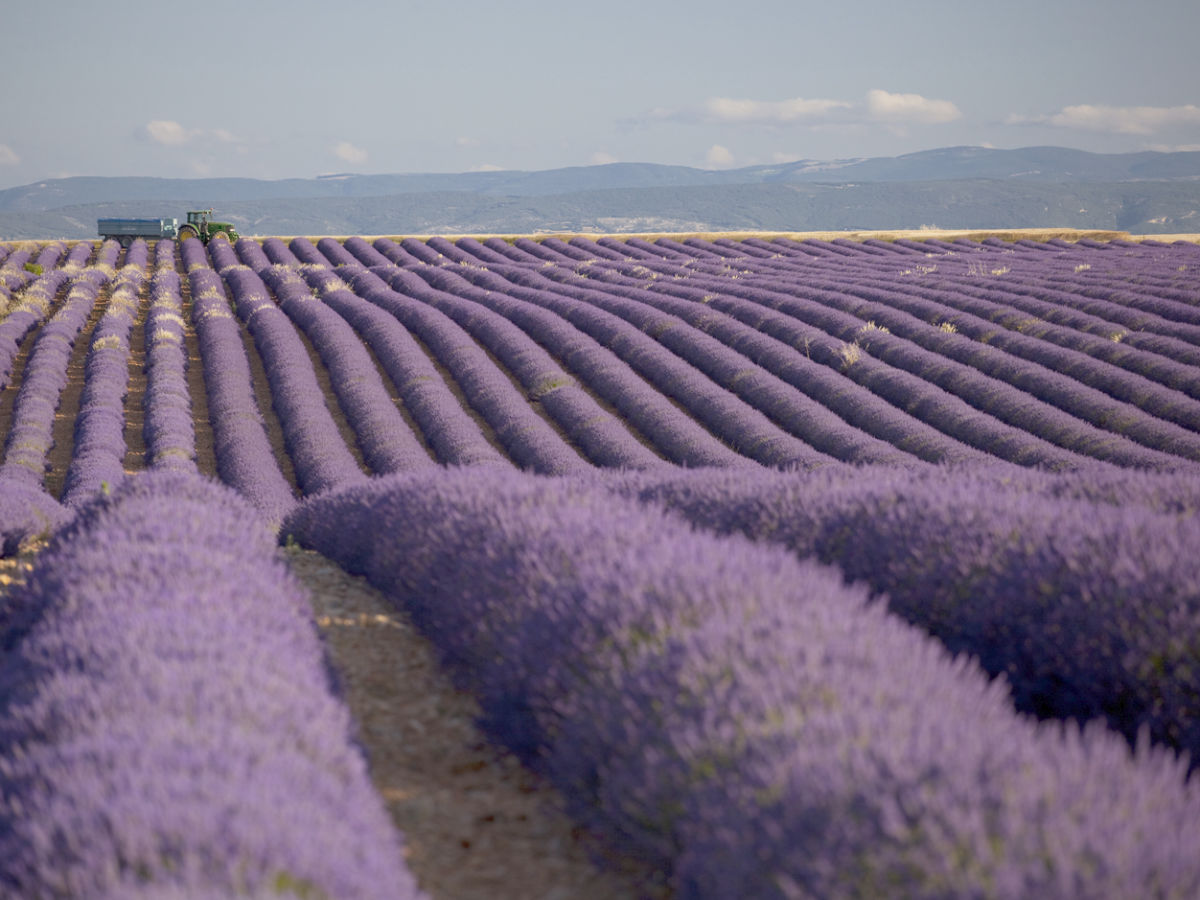 Ferienhaus 611 jou provence luberon firma coquelicot for Lavendelfelder provence