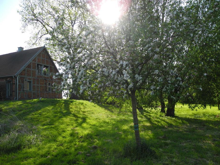 Apfelblüte im Garten