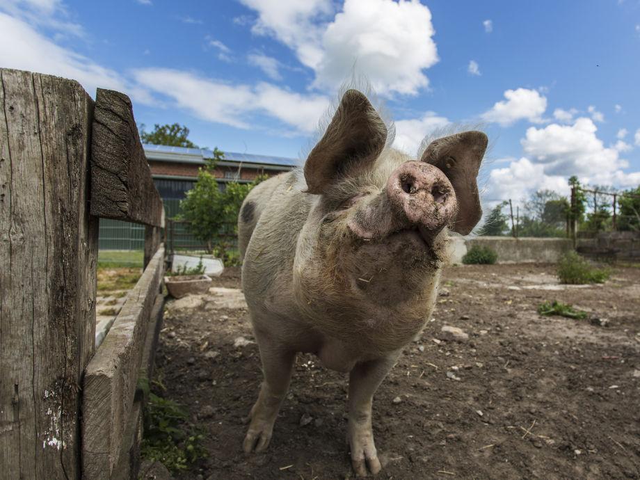 die Sau Schwein Schwein