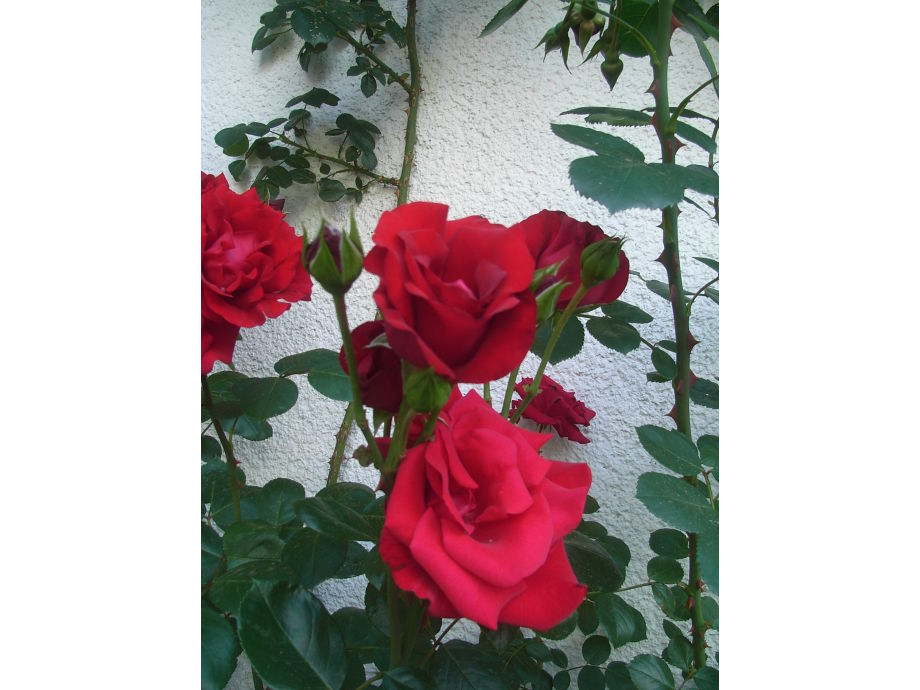 Rosen im Rosenhof