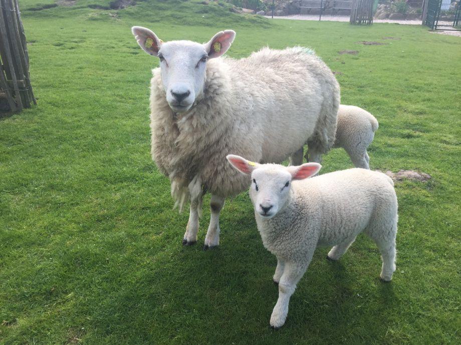 Unsere Schafe im Tiergehege