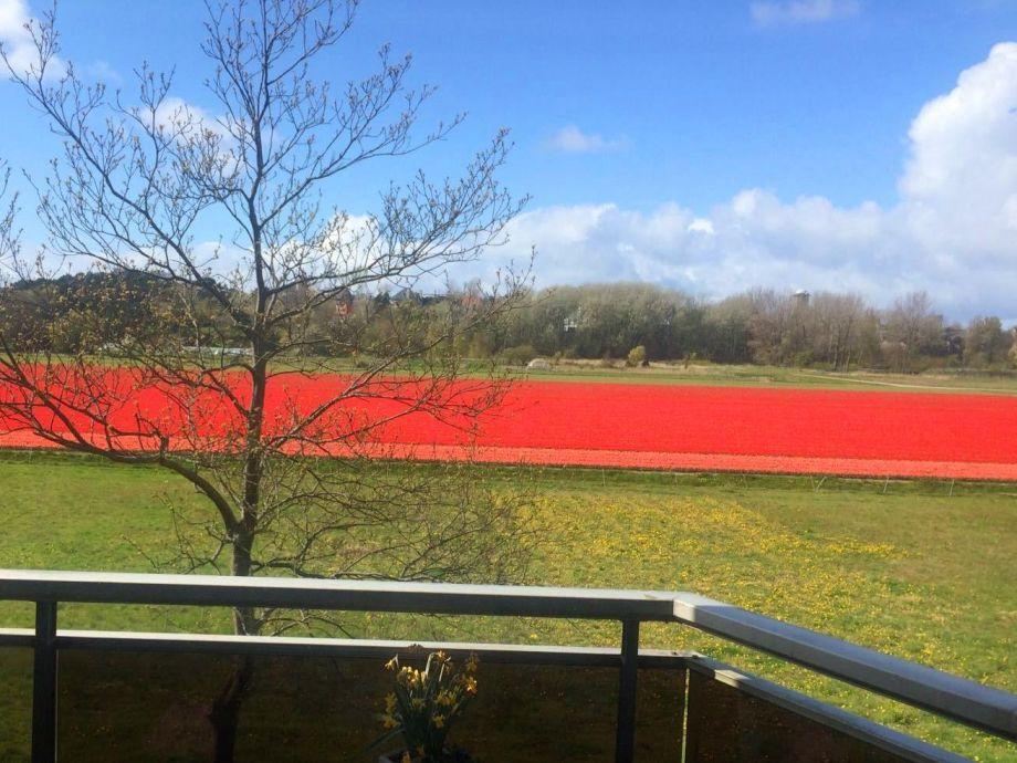 Tulpenfelder aus dem Wohnzimmer und Schlafzimmer im Mai