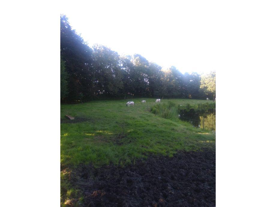 Ponys auf der Weide am Teich