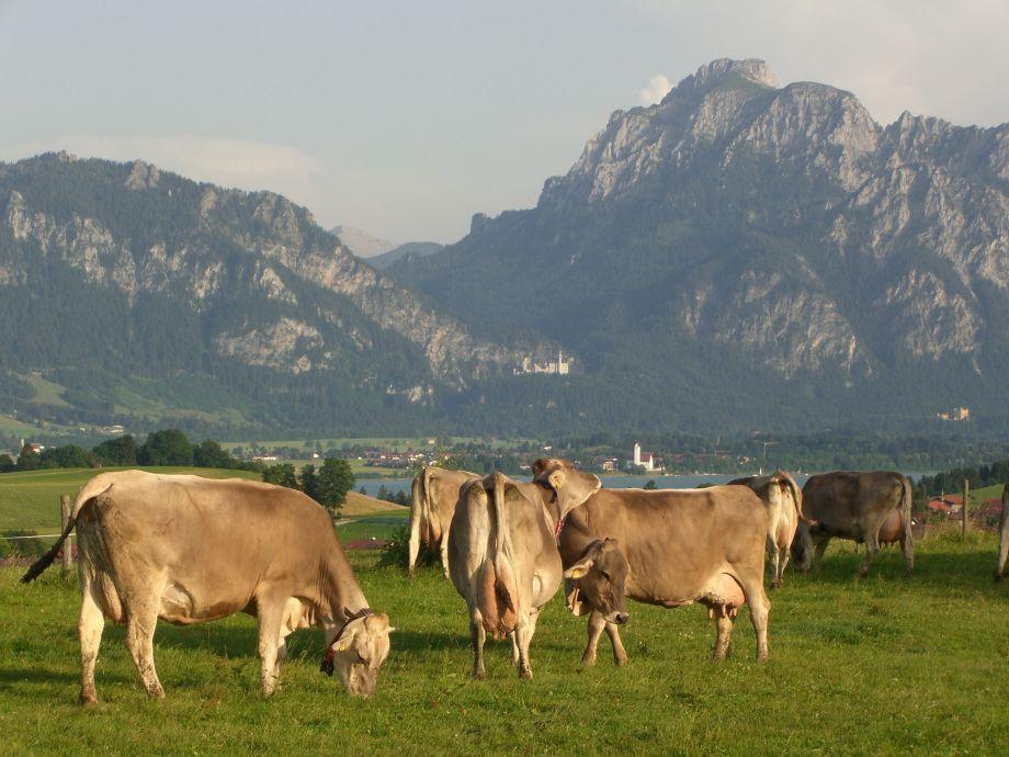 Stögerhof, zufriedene Kühe auf dem Hof