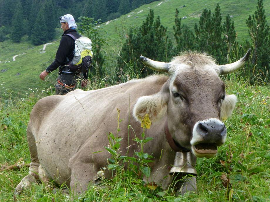Genießen Sie Landleben mit Kühen
