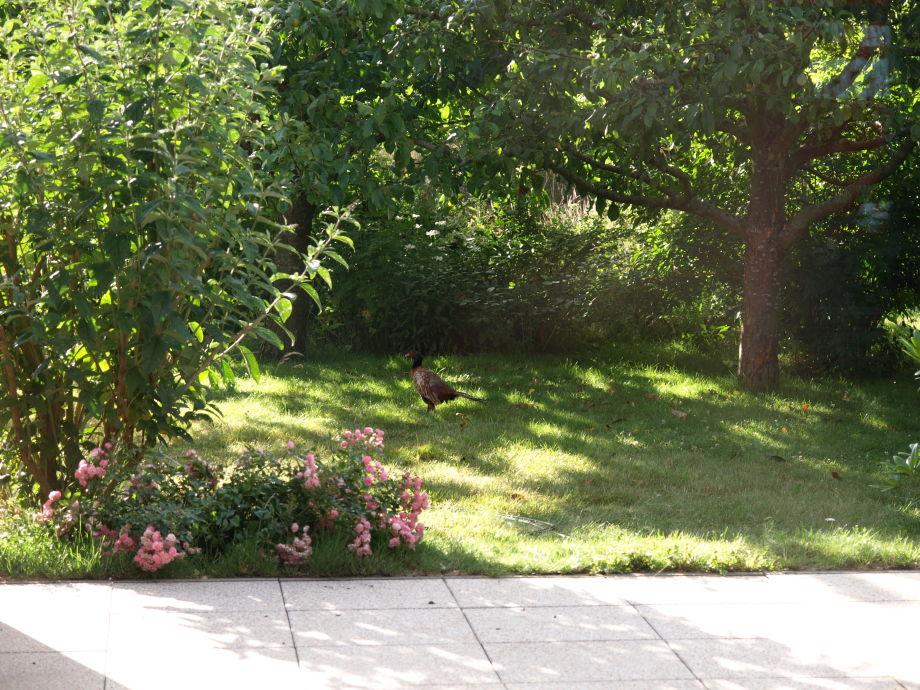 Fasan im Garten