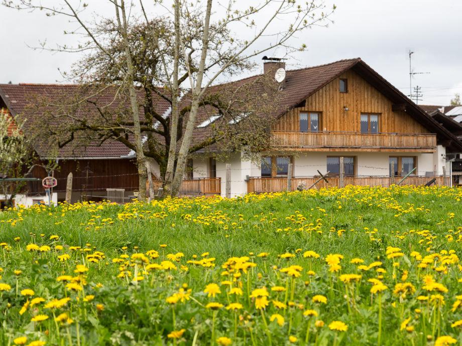 Löwenzahnblüte am Holderbusch
