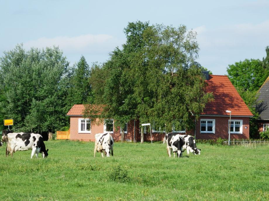 Ostansicht Kühe