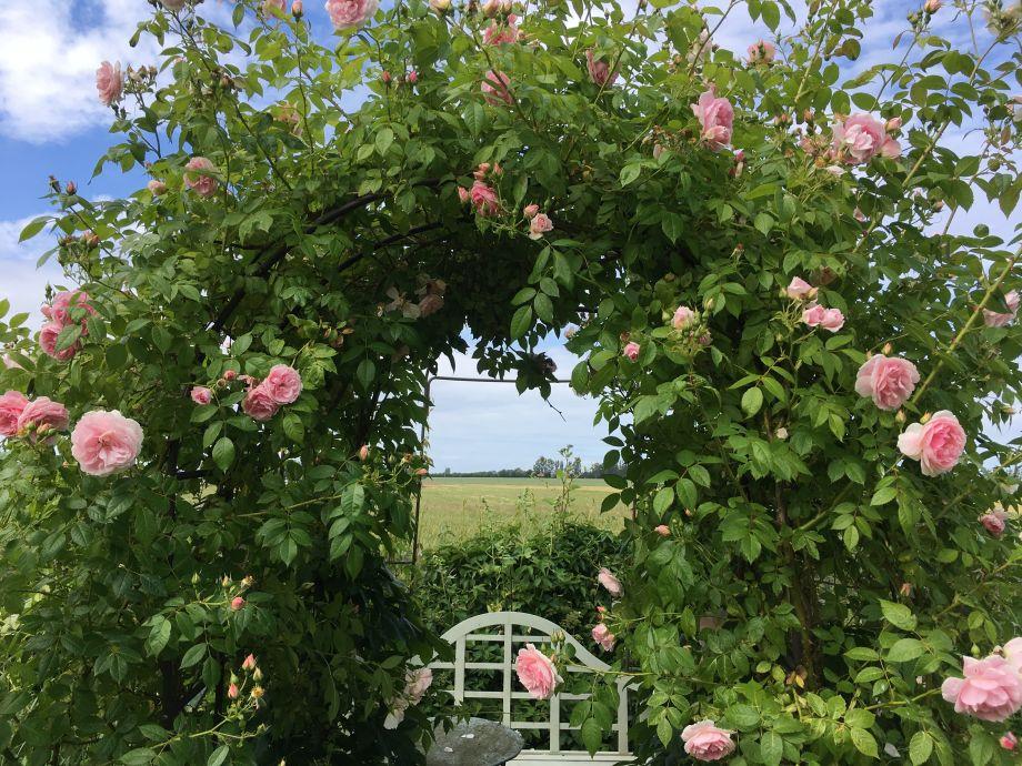 Rosenduft und Schmetterlinge
