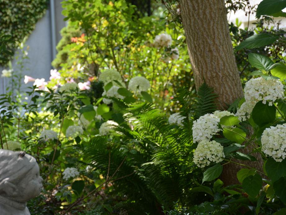 Hortensien im Vorgarten