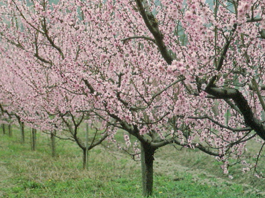 Pfirsichblüte im Mai