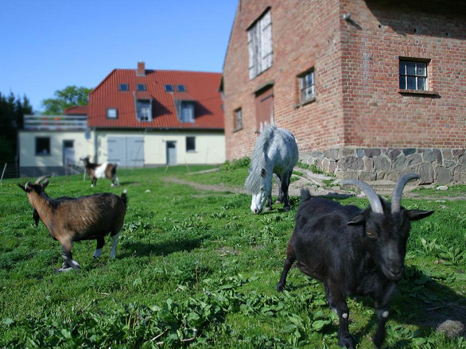 Unsere Ziegen und Iwan