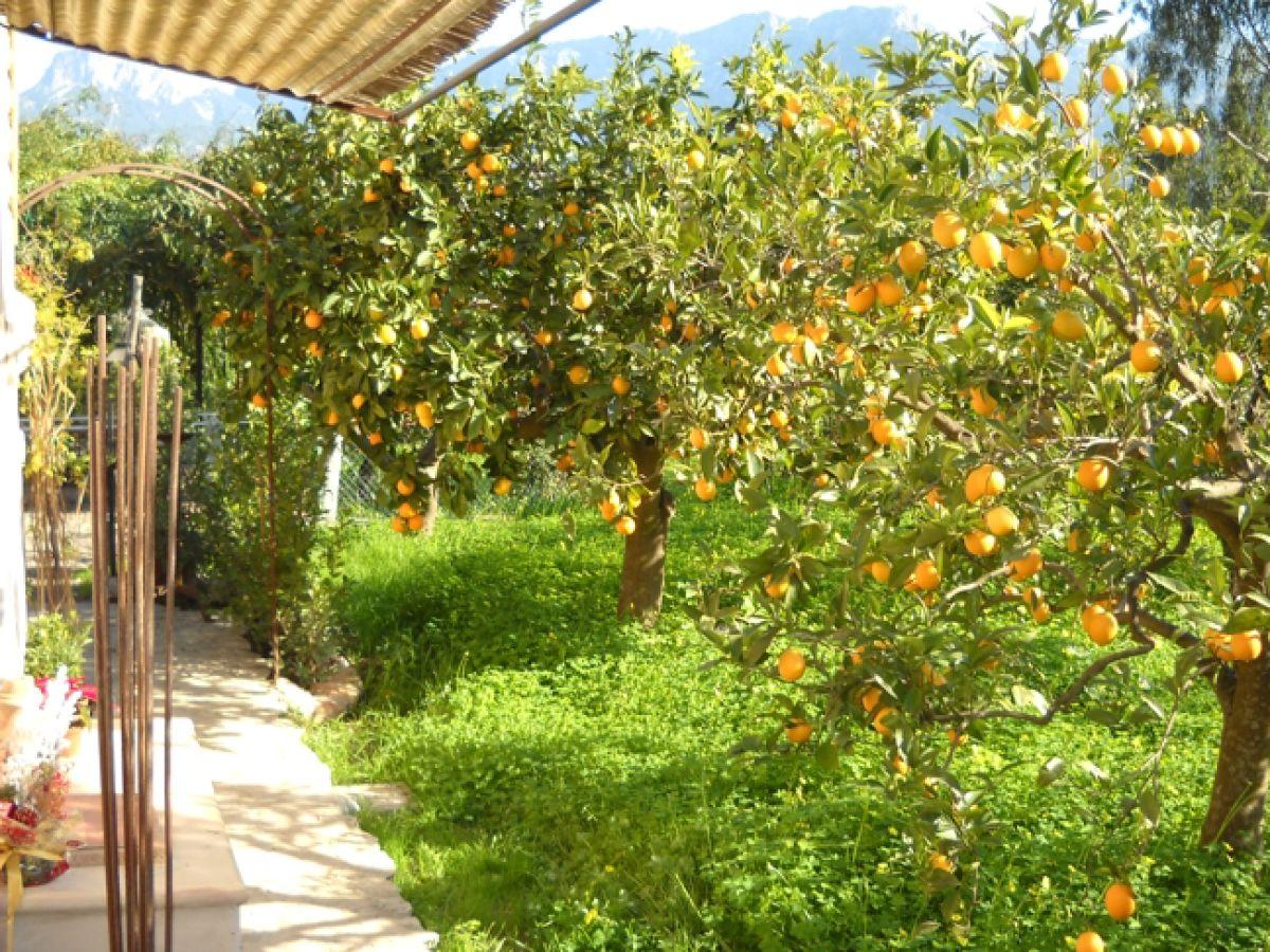 ferienhaus preiswerte natursteinfinca inmitten einer orangenplantage mallorca soller herr. Black Bedroom Furniture Sets. Home Design Ideas