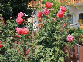 Unsere Rosen