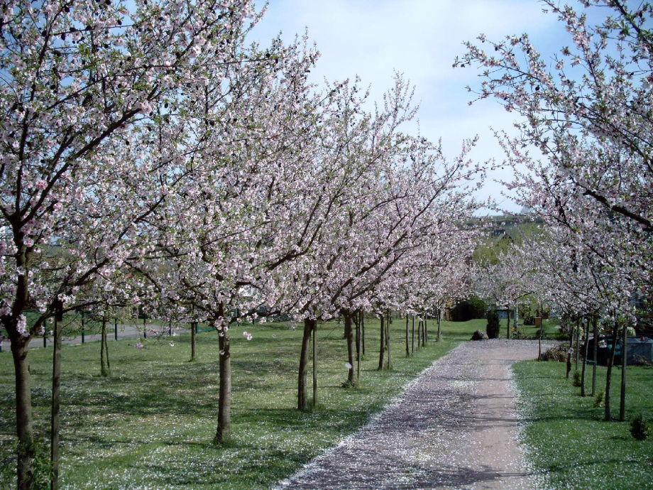 Unsere Mandelbäume