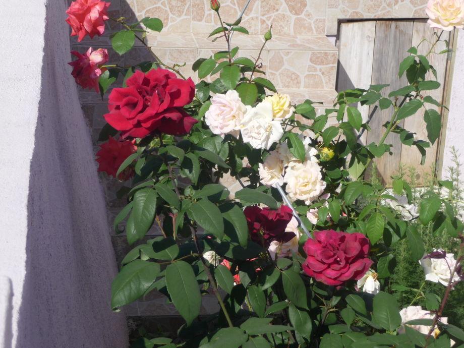 Rosengarten neben dem Appartement