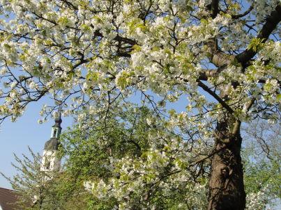 Lindenblüte im Haus Robarick - Altstadtflair
