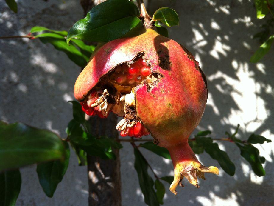 Granatapfel im Vorgarten