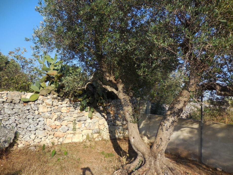 Alter Olivenbaum vor Feldsteinmauer